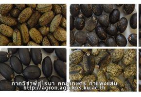 การปรับปรุงพันธุ์สบู่ดำ    (Jatropha Research)